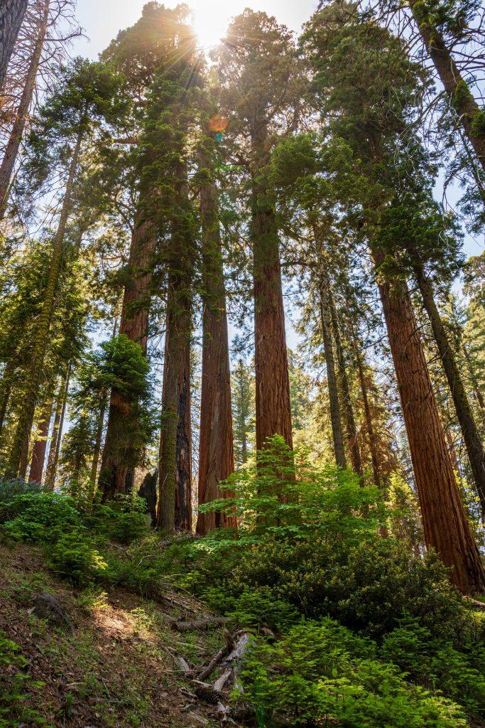 California Sequoia National Park – Author